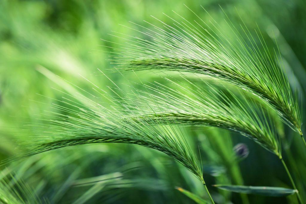 la hierba de cebada es un superalimento